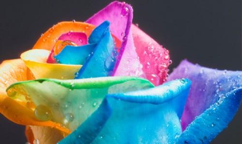 rainbow-rose_water